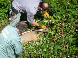 Le guardie ecologiche bloccano il capriolo